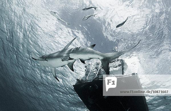 Großer Hammerhai schwimmt an Plattform vorbei