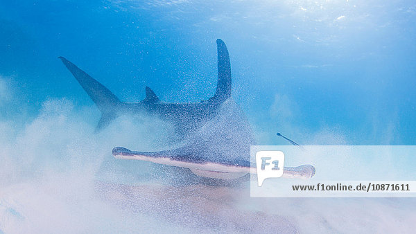 Great Hammerhead Shark stirring up sand on seabed