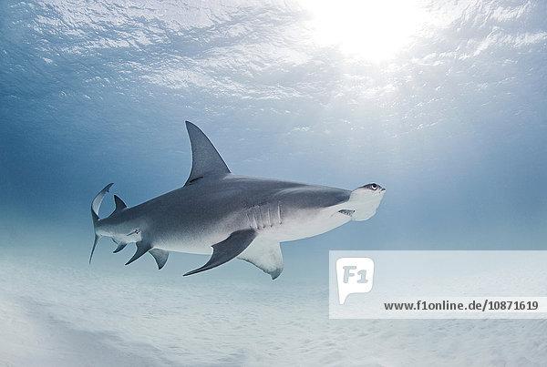 Großer Hammerhai schwimmt nahe der Meeresoberfläche