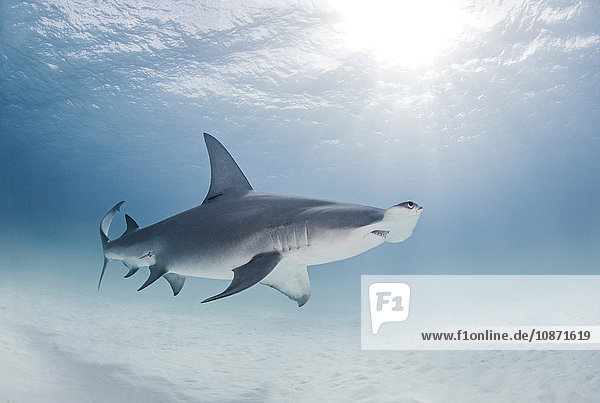 Great Hammerhead Shark swimming near surface of ocean