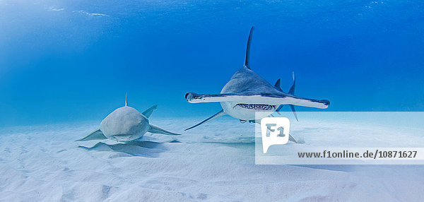 Großer Hammerhai neben Ammenhai