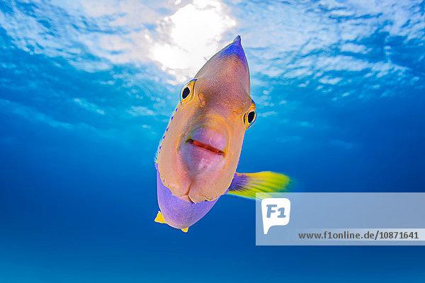 Nahaufnahme einer jugendlichen Engelsfisch-Königin
