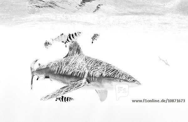 Weißspitzen-Hochseehai mit Lotsenfisch um ihn herum