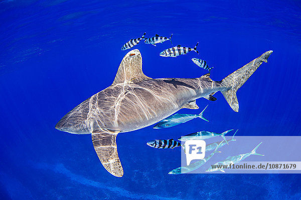 Oceanic Whitetip Shark with pilot fish and rainbow runners around it