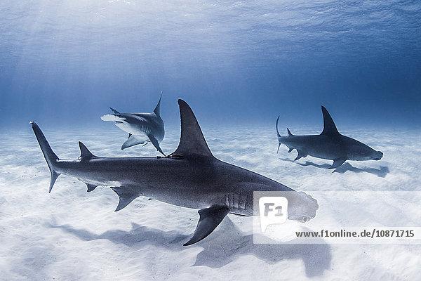 Große Hammerhaie schwimmen in der Nähe des Meeresbodens