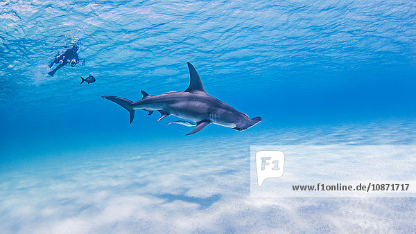 Great Hammerhead Sharks with diver in background