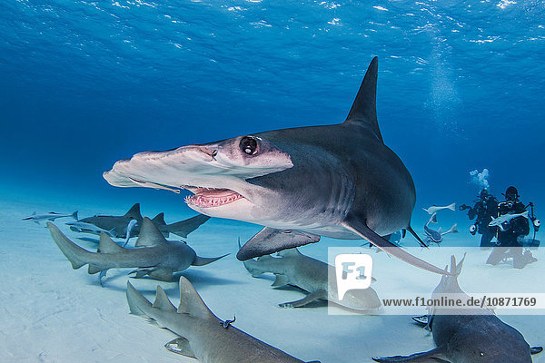 Great Hammerhead Shark with Nurse Sharks around it  divers in background