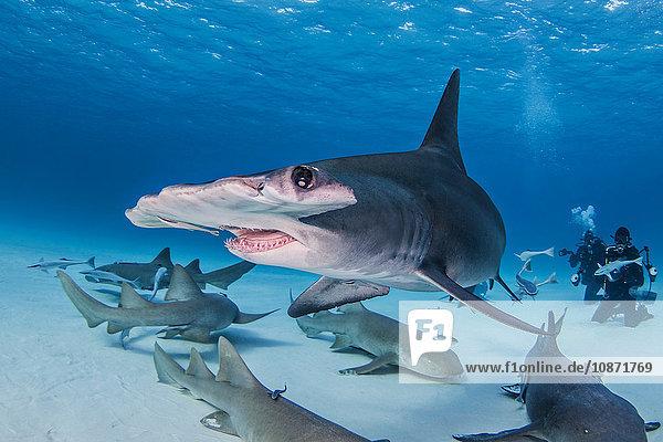 Großer Hammerhai mit Ammenhaien um ihn herum  Taucher im Hintergrund