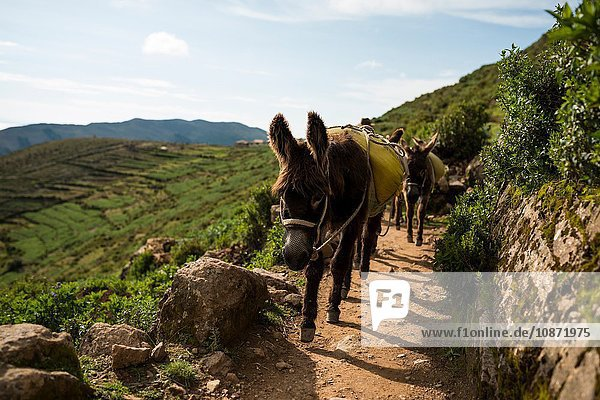 Donkeys on dirt path  Isla del Sol  Lake Titicaca  Bolivia  South America