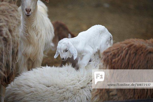 Ziegen und Ziegenzicklein  Ibri  Az Zahira  Oman  Naher Osten Ziegen und Ziegenzicklein, Ibri, Az Zahira, Oman, Naher Osten