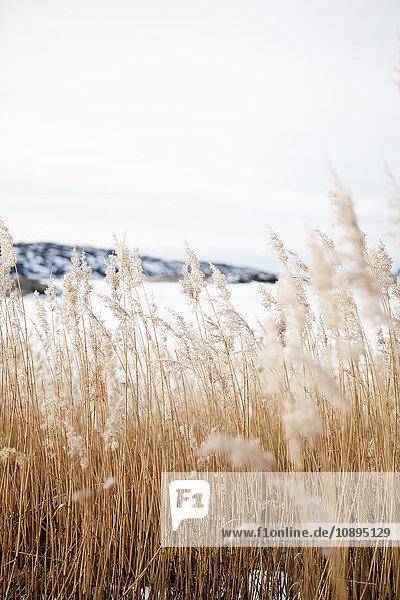 Schweden  Bohuslan  Orust  Mollosund  Braunes Gras im Winter