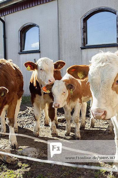 Schweden  Vastergotland  Olofstorp  Kühe (Bos taurus) auf dem Bauernhof