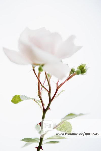 Schweden  Skane  Nahaufnahme der weißen Rose