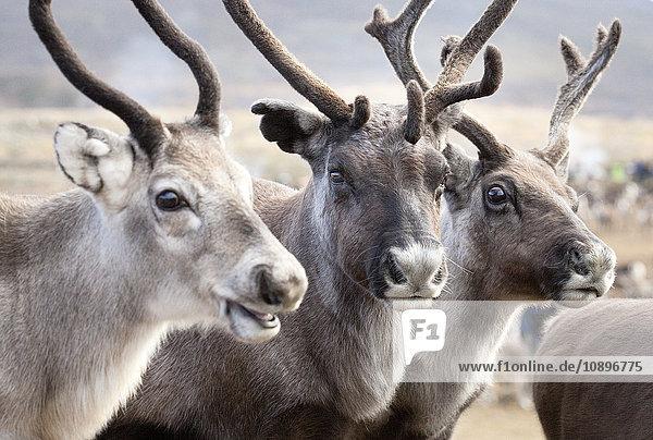 Schweden  Lappland  Levas  Portrait von drei Rentieren (Rangifer tarandus)