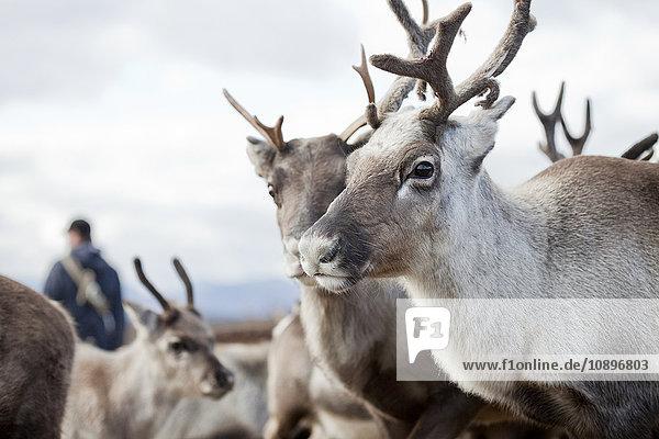 Schweden  Lappland  Levas  Rentierporträt (Rangifer tarandus) in der Herde