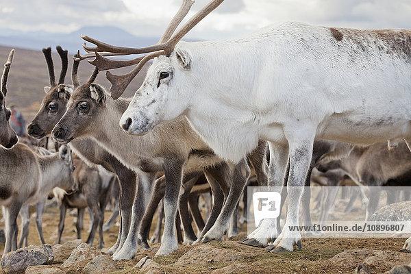 Schweden  Lappland  Levas  Weiße Rentiere (Rangifer tarandus) vor der Herde