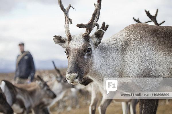Schweden  Lappland  Levas  Rentiere (Rangifer tarandus) vor der Kamera