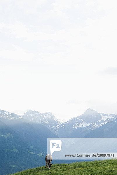 Österreich  Vorarlberg  Kuh auf der Wiese