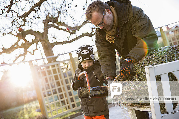Sweden  Sodermanland  Alvsjo  Father with son (6-7) sawing fir tree on backyard