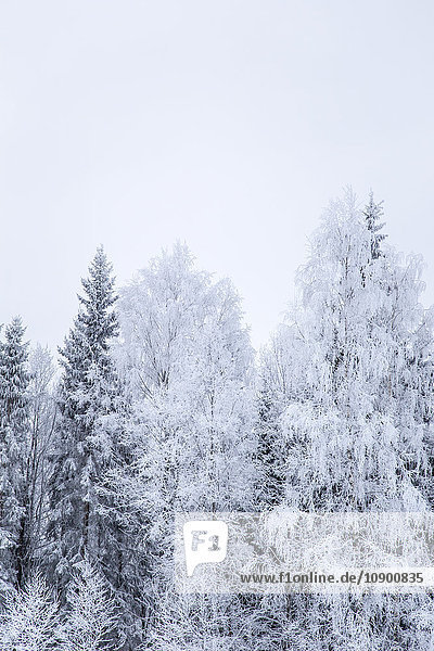 Sweden  Varmland  Sunne  White trees against sky in winter