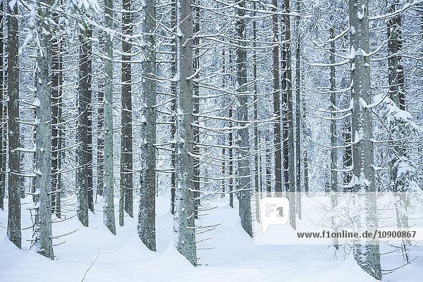Schweden  Vastergotland  Lerum  Frostbedeckte Kiefern im verschneiten Wald