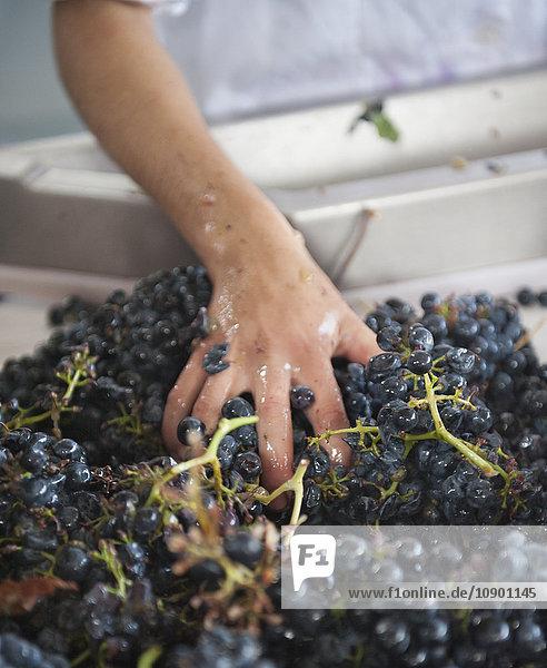 Portugal  Douro Valley  Grape vines harvesting Portugal, Douro Valley, Grape vines harvesting