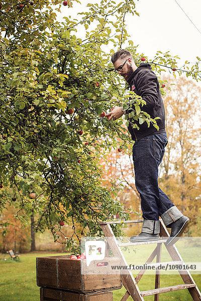 Schweden  Dalarna  Mann pflückt Äpfel vom Baum