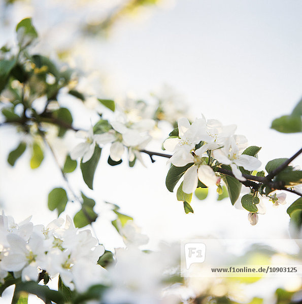 Finnland  Nahaufnahme von Apfelblüten
