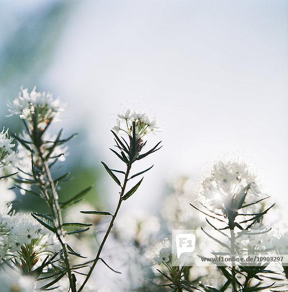 Finnland  Nahaufnahme der Labrador-Tee-Pflanze (Rhododendron tomentosum)