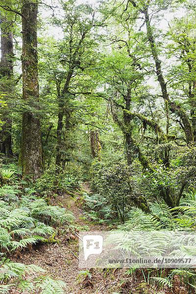 Neuseeland  Nordinsel  Te Urewera Nationalpark  Weg durch den Regenwald