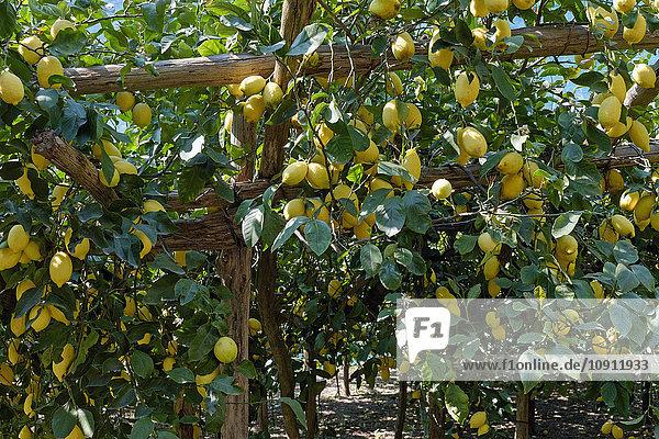 Italien  Kampanien  Amalfi  Valle delle Ferriere  Zitronenplantage