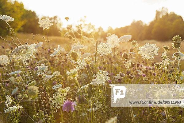 Natur im Sommer  Wildblumen auf der Wiese Natur im Sommer, Wildblumen auf der Wiese