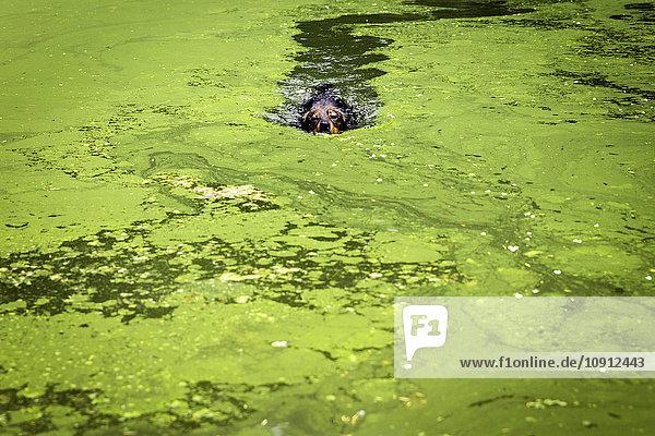 Mischling schwimmt im Teich mit Algen