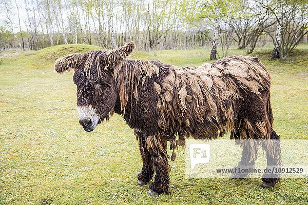 Porträt des Esels Poitou auf einer Wiese Porträt des Esels Poitou auf einer Wiese