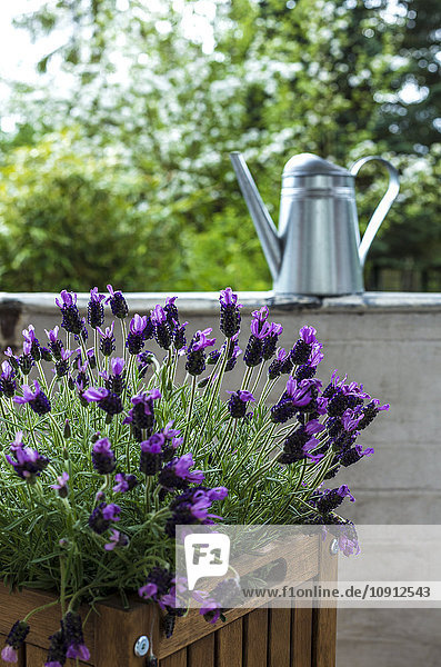 Blossoming lavender on balcony