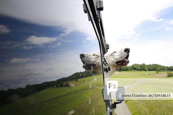 Mischling aus dem Fenster eines Geländewagens schauend Mischling aus dem Fenster eines Geländewagens schauend