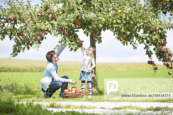 Kleines Mädchen und Vater pflücken Äpfel vom Baum