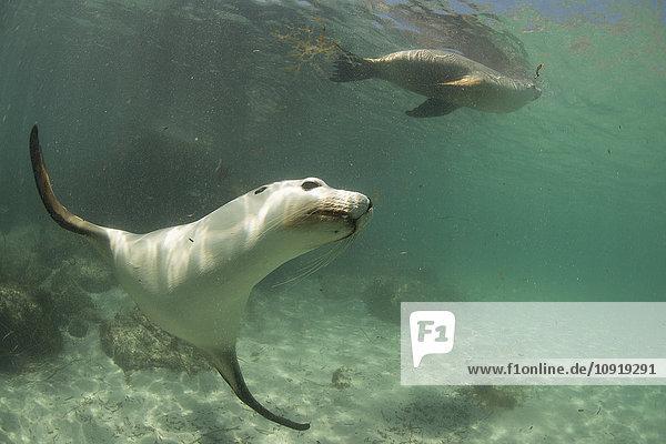 Australien  Port Lincoln  Seelöwen
