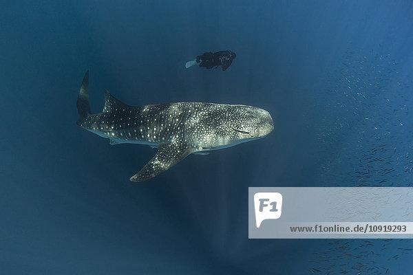 Indonesien  Cenderawasih Bay  Walhai und Taucherin