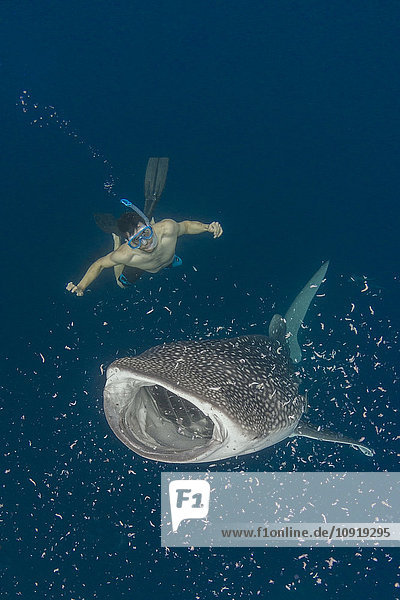 Indonesien  Cenderawasih Bay  Walhai und Schnorchler