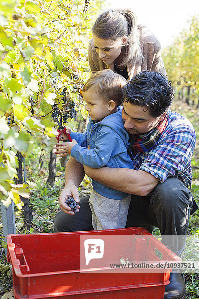Family harvesting grapes together in vineyard
