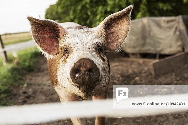 Nahaufnahme vom Schwein auf dem Bauernhof