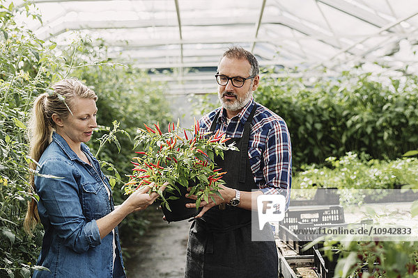 Gärtner prüfen Topfpflanze im Gewächshaus