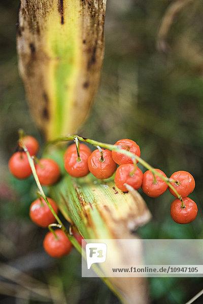 Close-up of orange berries