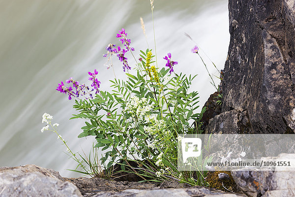 Pink Flowers grow atop of Whirlpool Canyon along the Liard River  Alaska Highway  North of Liard Hot Springs  British Columbia  Canada  Summer