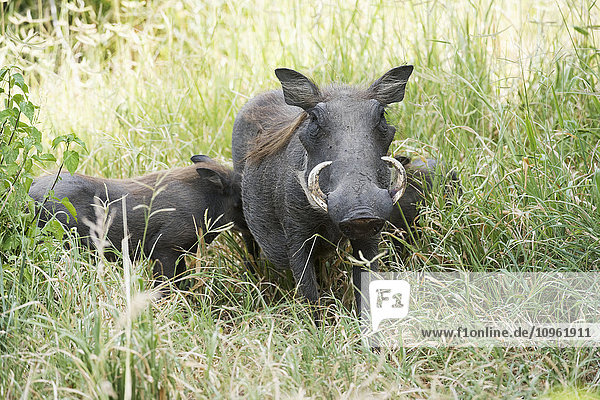 'Female Common Warthog (Phacochoerus africanus) with two babies standing in tall grass  Tarangire National Park; Tanzania'