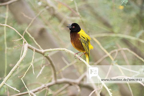 'Golden-backed Weaver (Ploceus jacksoni) with open beak calls from perch near Lake Eyasi; Tanzania'