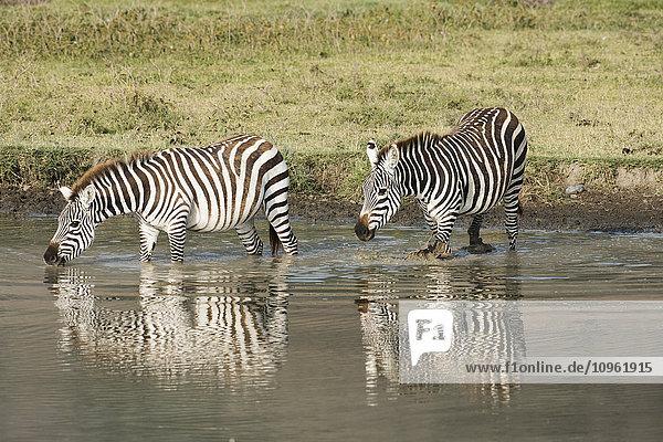 'Two Common Zebra drinking in waterhole at Ngorongoro Crater; Tanzania'