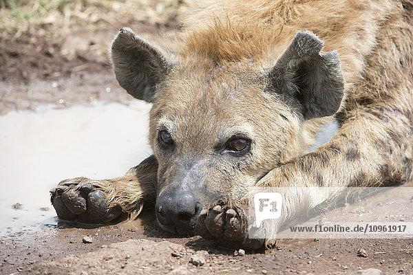 'Close up of Spotted Hyena (Crocuta crocuta) lying next to water puddle  Ngorongoro Crater; Tanzania'