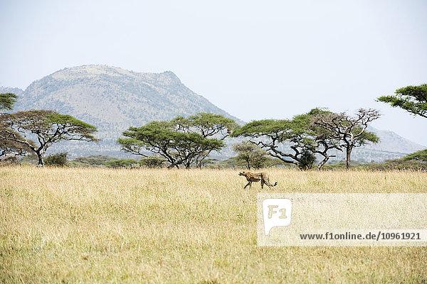 'Cheetah (Acinonyx jubatus) walking through open savannah in Serengeti National Park; Tanzania'